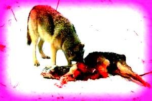 wolf-mit-reh_bearbeitet